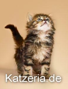 Junge Katze bei Kateria.de